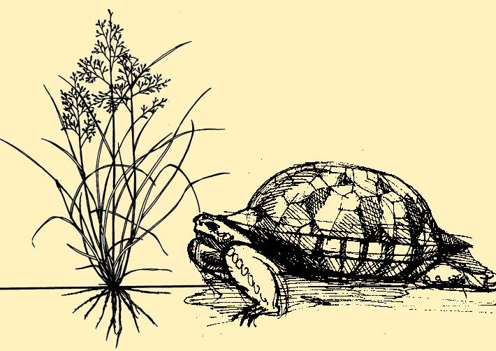 sacaton_tortoise